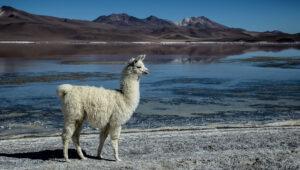 Lama - Bolivia