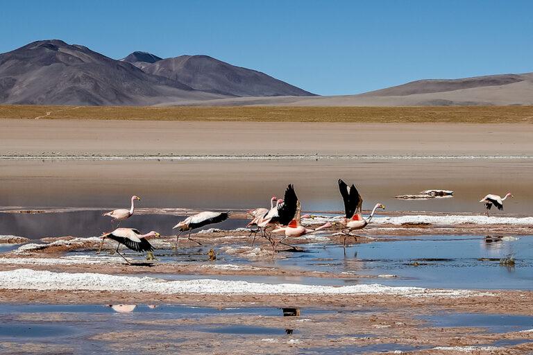 Fenicotteri - Bolivia